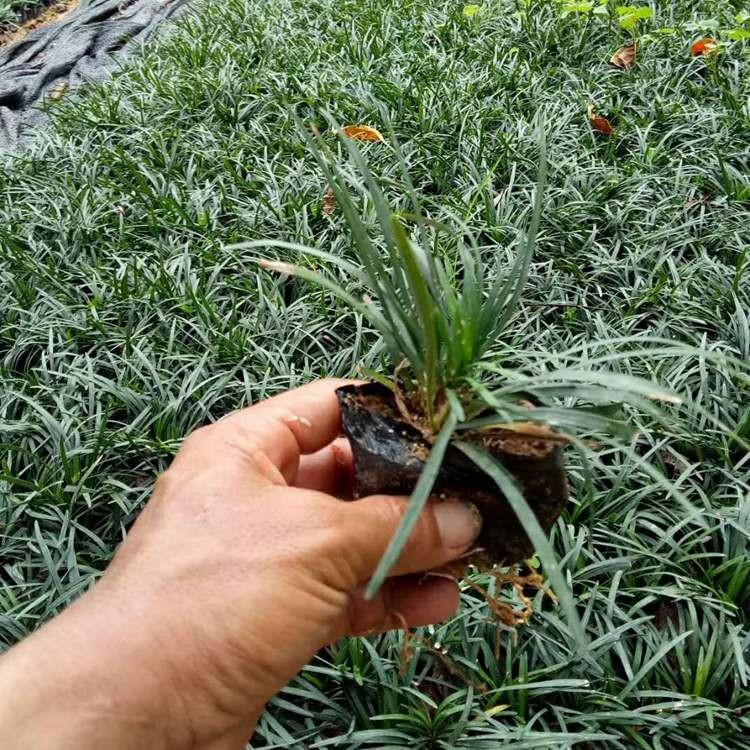 福建玉龙草20公分以上 价格便宜批发 采购批发苗木