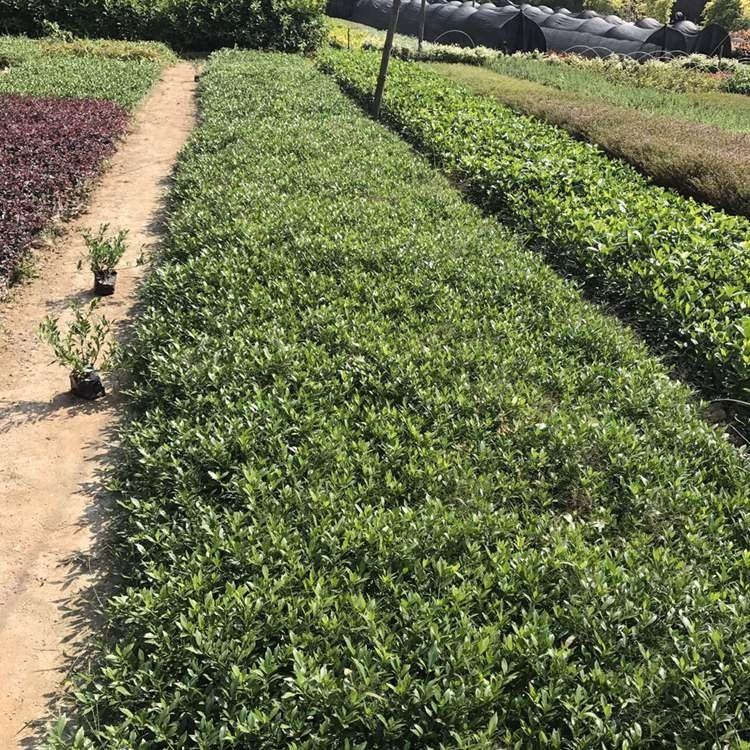 小叶栀子花地被高25-30公分  雀舌栀子  地被苗批发