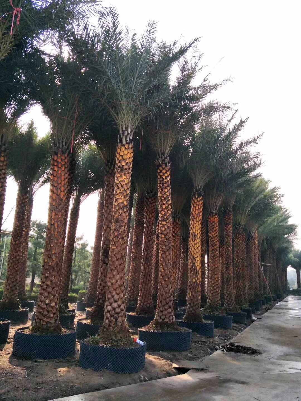 福建中东海枣(银海枣)   杆高度3-6米  大量批发优惠