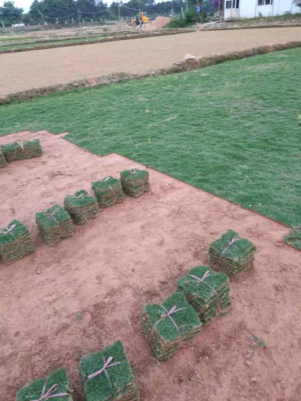 福建带泥土真草皮草坪庭院别墅绿化植物草草坪绿植马尼拉四季青果岭
