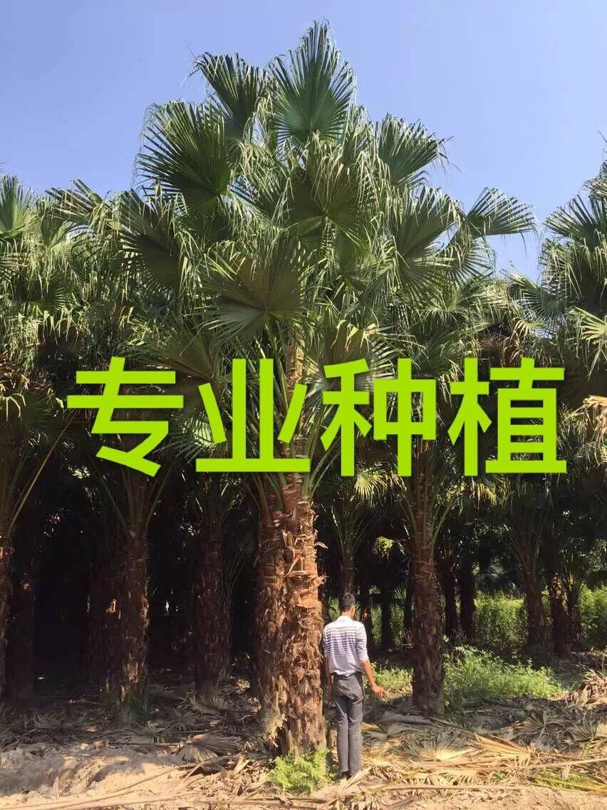 1米蒲葵价格 2米蒲葵价格 3米蒲葵价格 4米蒲葵价格 5米蒲葵价格 6米蒲葵价格 7米蒲葵价格