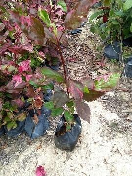 龙海花卉园常年供应价优的彩叶扶桑