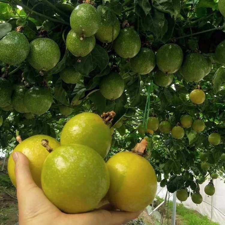 百香果供应 黄金百香果苗 优质百香果苗基地直发