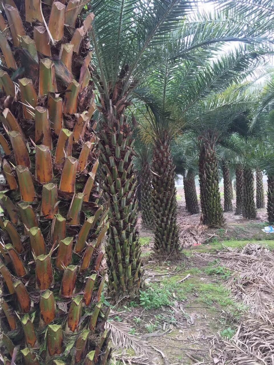 绿化街道风景树中东海枣规格全品种多