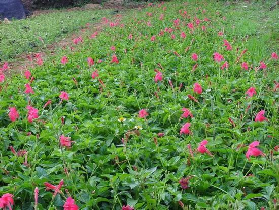大花芦莉的花期是几月份存活率高不高