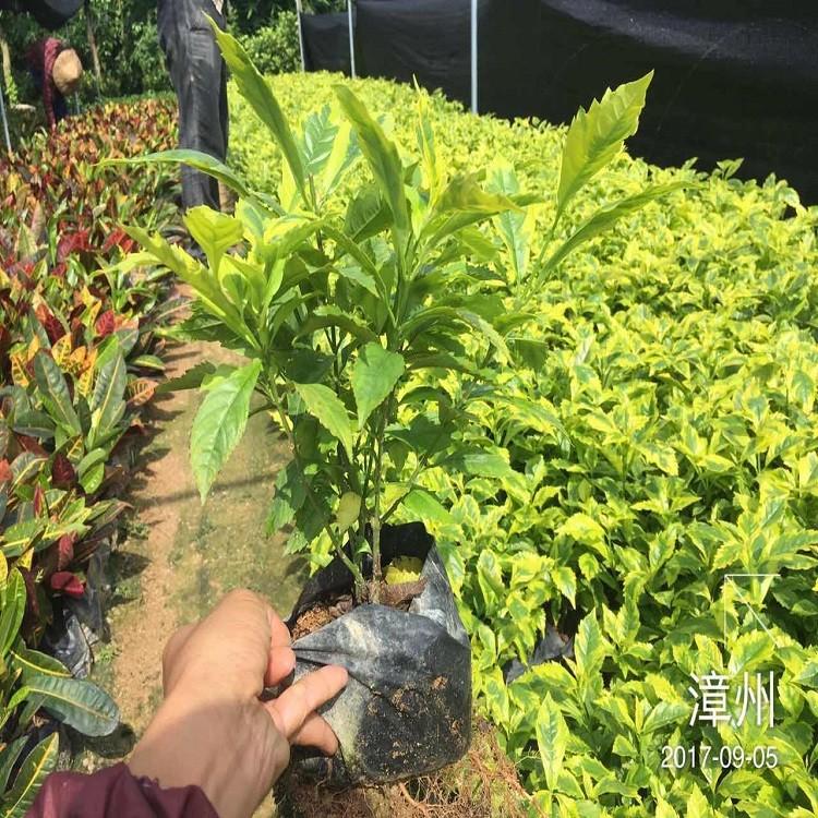 榕翔直供小型盆栽绿植金边假连翘