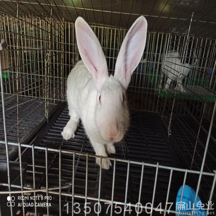 福建三明沙县兔子种苗养殖批发 新西兰兔苗价格 新西兰兔苗养殖