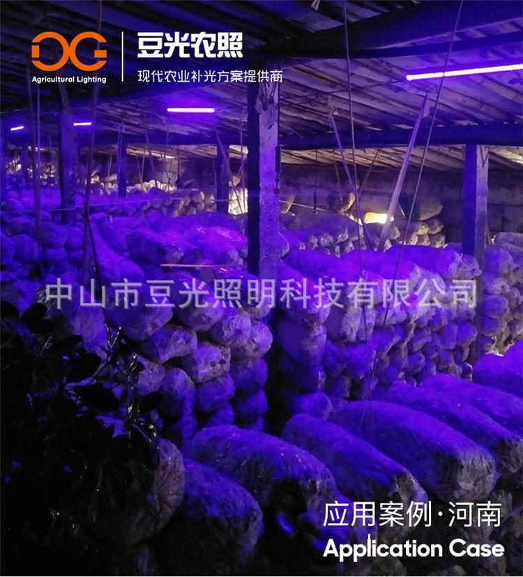 食用菌平菇补光灯/蘑菇催菇期出菇期子实体生长专用T8蓝光灯管