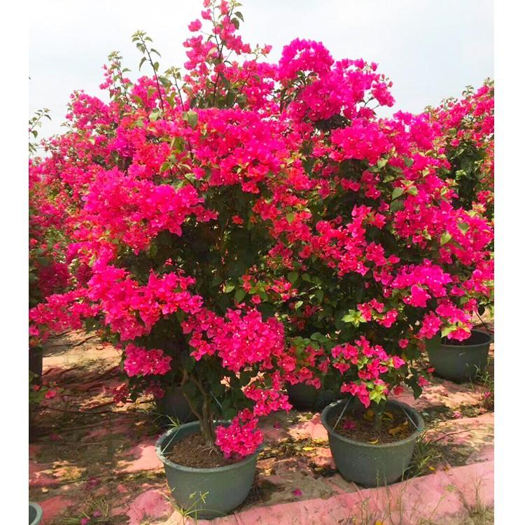 1.8米-2米四季红三角梅价格 水红色九重葛批发 福建勒杜鹃种植基地