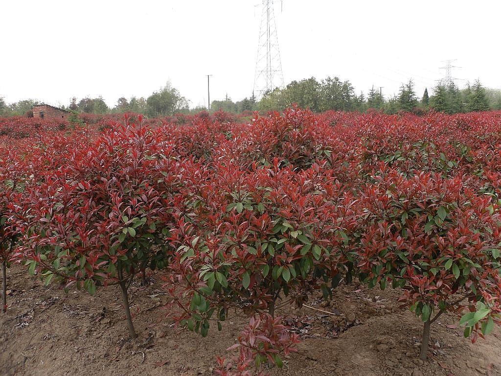 优质品种红叶石楠