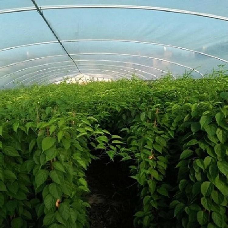 炮仗花袋苗可露地越冬易种植基地长年低价供应