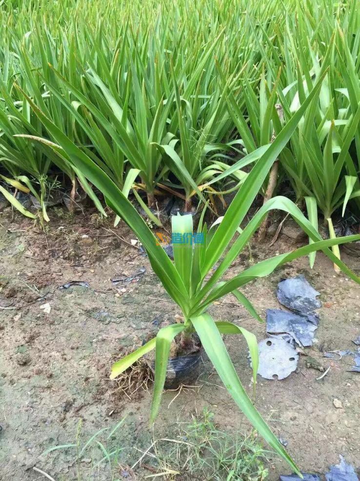 优质文殊兰绿化苗木品种齐全