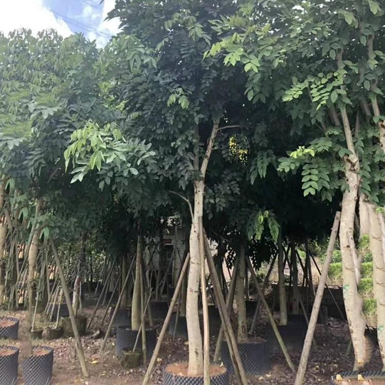 腊肠树移植苗10公分-20公分  腊肠树袋苗 规格齐全 量大价优