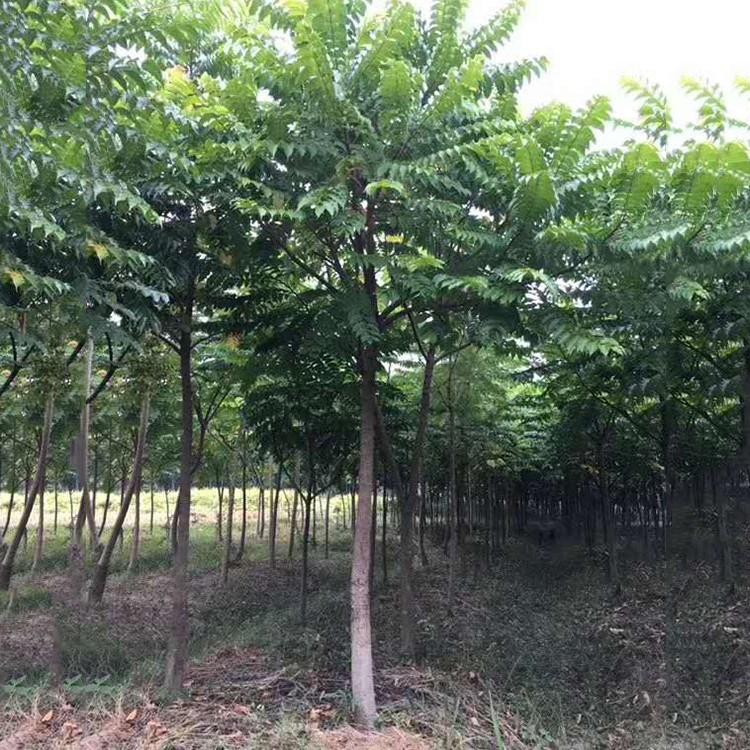 麻楝树供应 基地直销  福建麻楝价格 量大价优