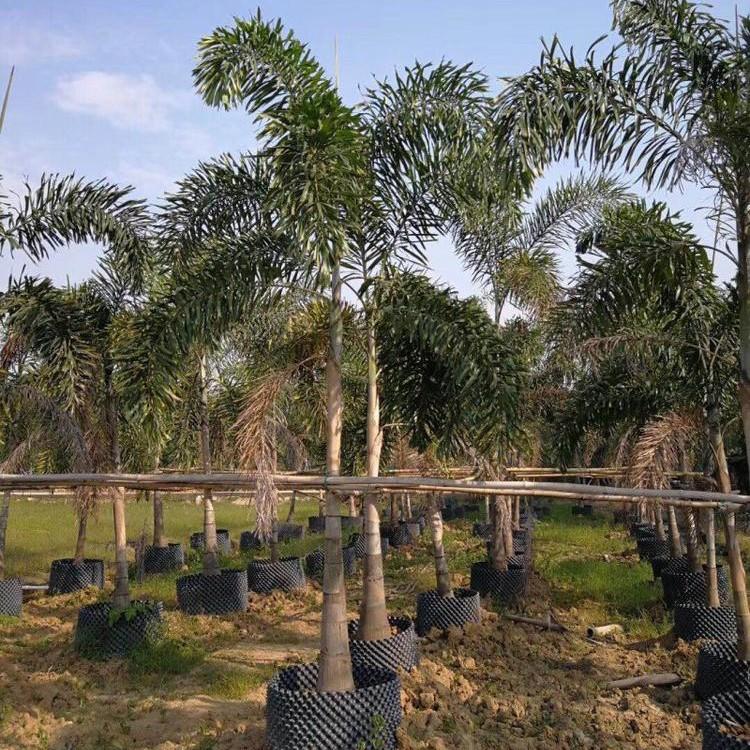 狐尾椰子杆高5米_福建棕榈基地_苗木批发价格_狐尾椰子基地直销_绿盈苗木