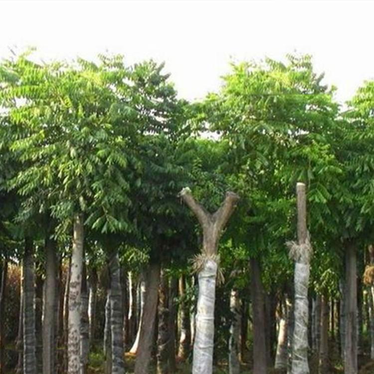 台湾栾树移植苗 台湾栾树树苗 台湾栾树袋苗 规格齐全 大量批发