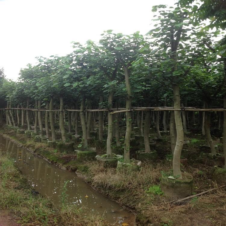 基地自产自销黄槿土球黄槿袋苗大量现货80-1.5m上车快
