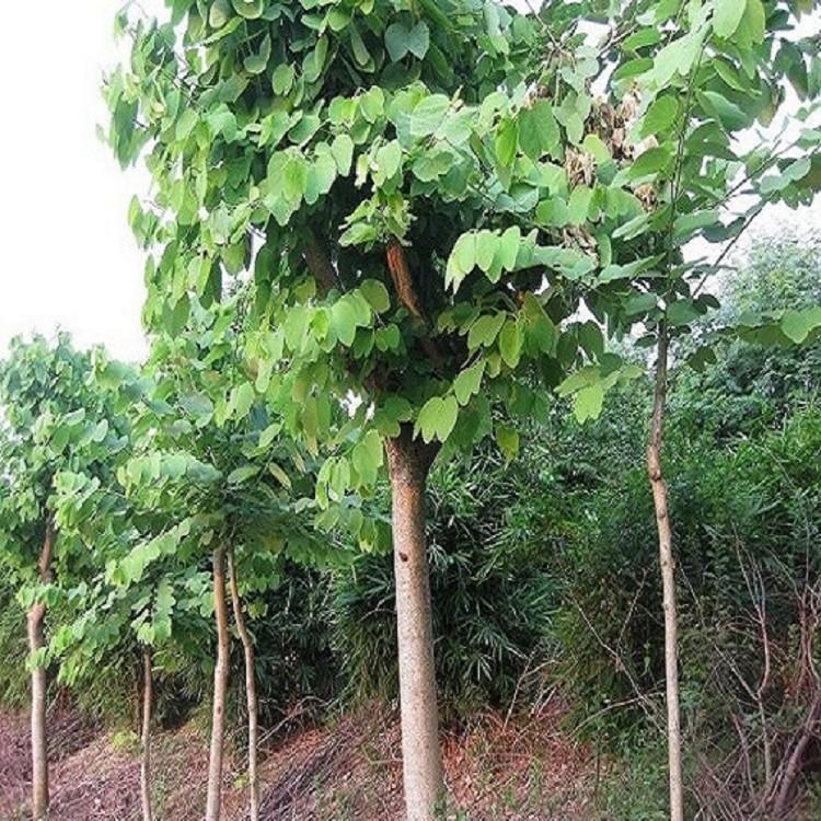 绿化树苗洋紫荆大量现货量小可配货支持混批