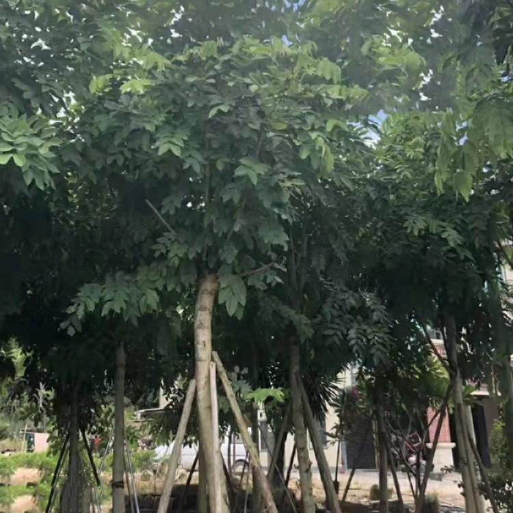 重阳木 绿化树最新报价  规格齐全  绿盈苗木
